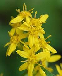 アキノキリンソウ Solidago virgaurea subsp. asiatica キク科 ...