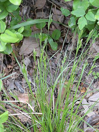 アオスゲ Carex breviculmis カ...