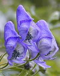 エゾトリカブト Aconitum yesoen...