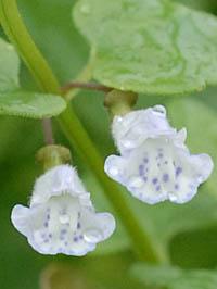 ヒメナミキ Scutellaria depende...