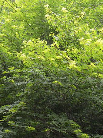 イロハモミジの画像 p1_39