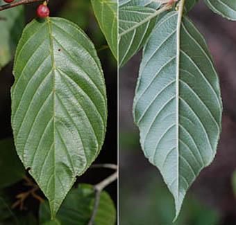 イソノキ Rhamnus crenata クロウメモドキ科 Rhamnaceae クロウメモドキ属 三河の植物観察