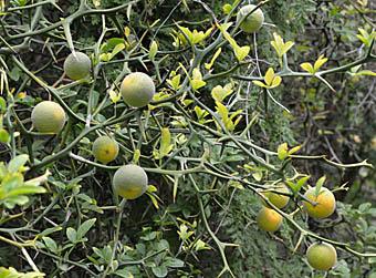 カラタチの画像 p1_19