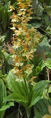 キエビネ Calanthe striata ラン科 Orchidaceae エビネ属 三河の植物観察