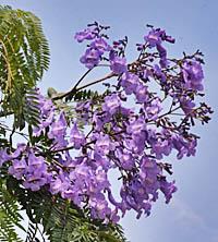 キリモドキ Jacaranda mimosifolia ノウゼンカズラ科 Bignoniaceae ...