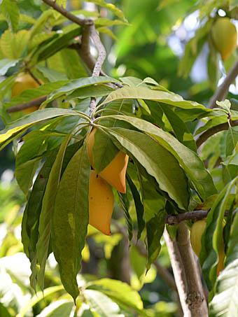 クダモノタマゴ Pouteria campec...