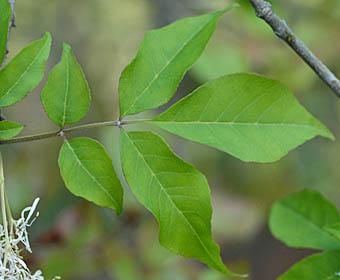 マルバアオダモの葉