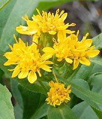 ミヤマアキノキリンソウ Solidago virgaurea subsp. leiocarpa キク科 ...