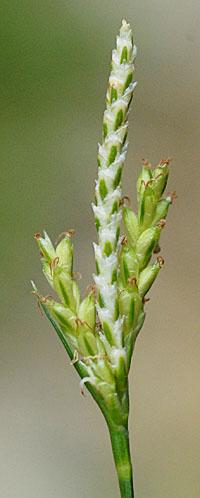 モエギスゲ Carex tristachya カ...
