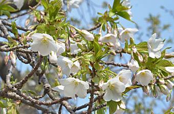 オオシマザクラ Cerasus speciosa バラ科 Rosaceae サクラ属 三河の ...