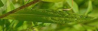サクラオグルマの葉