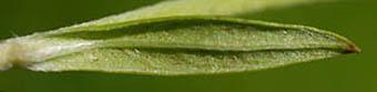 サクラオグルマの葉裏