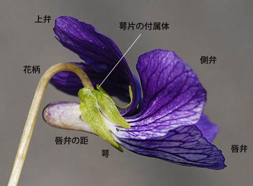 スミレの花の構造 三河の植物観察