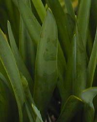 スノーフレーク (ヒガンバナ科)の画像 p1_2
