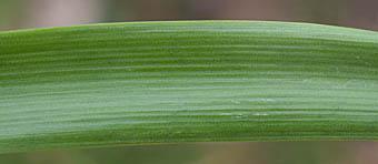スノーフレーク (ヒガンバナ科)の画像 p1_1