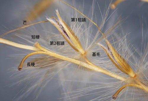 ススキの小穂と果実 三河の植物...