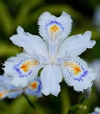 シャガ Iris japonica アヤメ科 ...