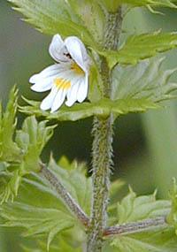 タチコゴメグサ Euphrasia maxim...