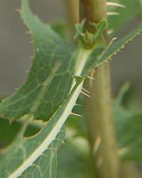 トゲチシャ Lactuca serriola キク科 Asteraceae アキノノゲシ属 三河の植物観察