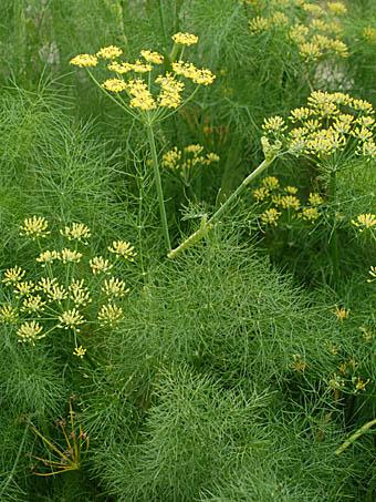 ウイキョウ Foeniculum vulgare セリ科 Apiaceae (Unbelliferae ...