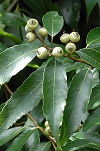 ウラジロガシ Quercus salicina ...