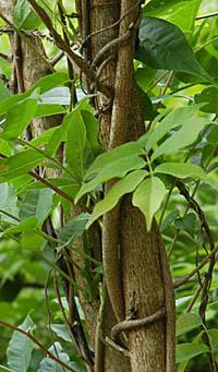 フジ (植物)の画像 p1_34