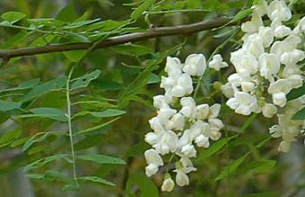 フジ (植物)の画像 p1_33